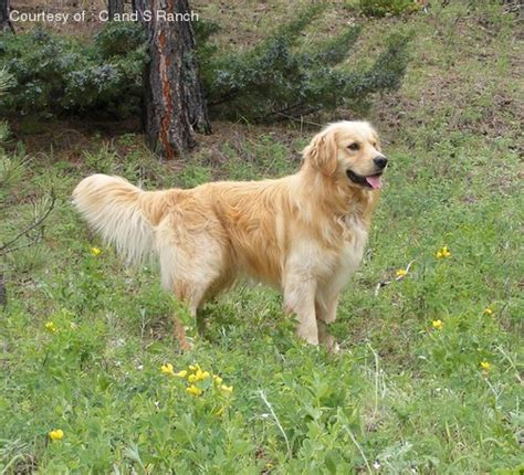 miniature golden retriever oregon miniature golden retriever pictures 2rojy32408