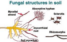 arbuscular mycorrhizal