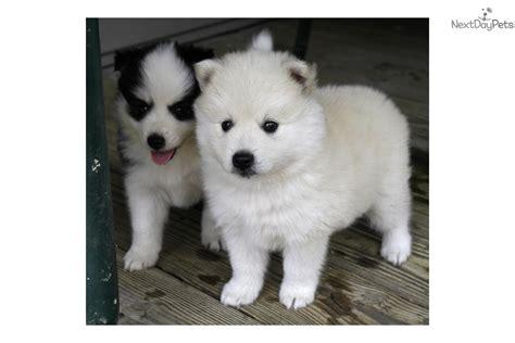 huskimo puppies for sale huskimo lexus spitz puppy for sale near columbia south carolina 0bad2ca1 9d41
