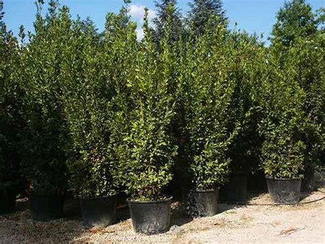 piante da siepe in vaso sempreverdi piante da siepe carpi reggio emilia arbusti sempreverdi