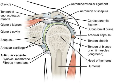 diagram of anatomy shoulder bone anatomy diagram human anatomy diagram