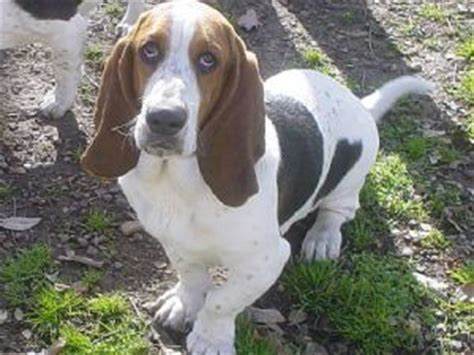 basset hound puppies for sale in arkansas basset hound puppies in arkansas