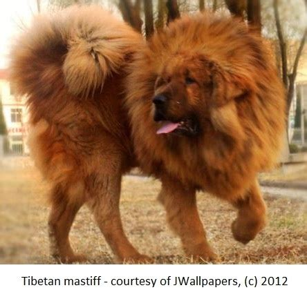 dogs that look like lions like breed www pixshark images galleries with a bite