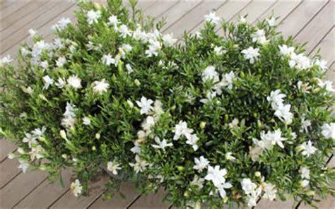 creeping dwarf gardenia 3 gallon shrub groundcover buy creeping dwarf gardenia gardenia jasminoides