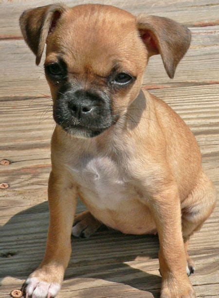 i want a pug so bad best 25 pug bread ideas on pugs food stickers and a pug