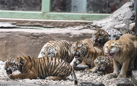 Perangko Taiwan Endangered Mammals Postage Sts Pictorial tiger cubs roar at during debut at zoo daily mail