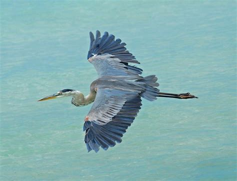 the great blue heron in flight birds pinterest