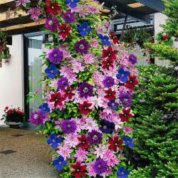 List Of Climbing Plants - 50pcs lot 24 colours beautiful clematis seeds clematis