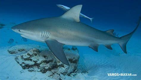 imagenes de tiburones wallpaper tiburon toro wild animals pinterest