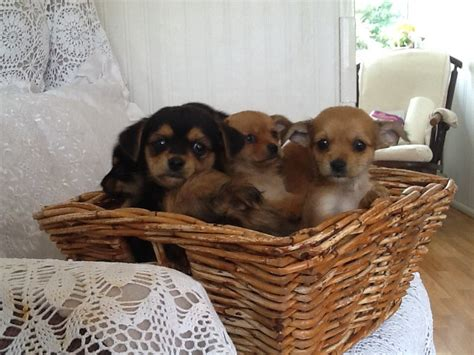 teacup yorkies for sale in kent beautiful chihuahua cross yorkie puppies for sale sevenoaks kent pets4homes
