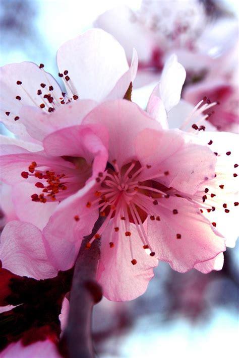 significati dei fiori il significato dei fiori di pesco