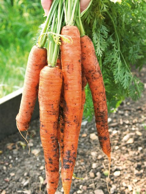 how to grow root vegetables growing root crops how tos diy