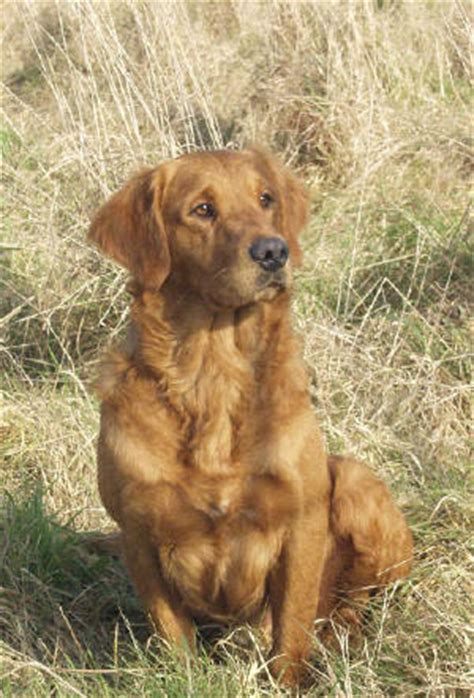 bloodhound golden retriever mix lab shepherd pit mix traits breeds picture