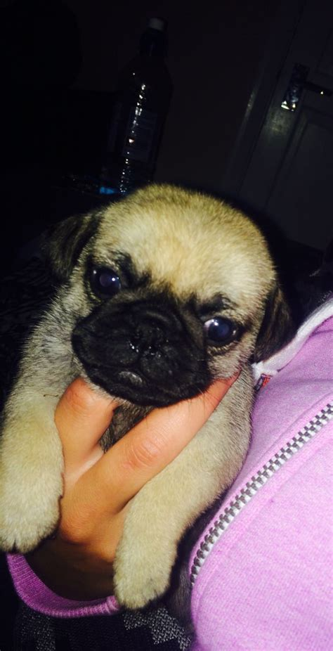 pug norwich only 3 left 3 4 pug puppies norwich norfolk pets4homes