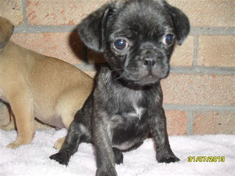 pug x bulldog puppies pug x griffon bulldog pups dorchester dorset pets4homes