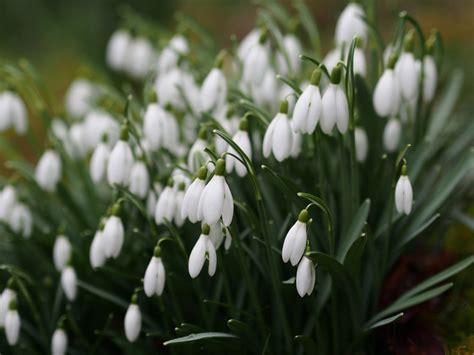 special snowdrop gardens talks   open days