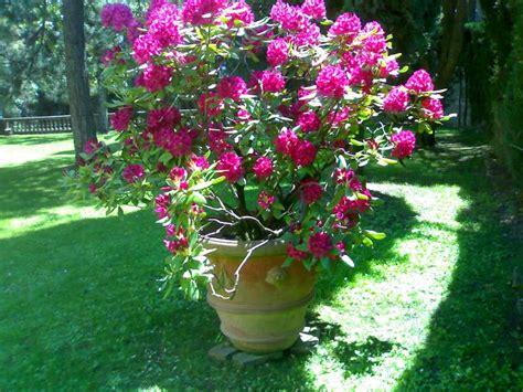 rododendro in vaso la finestra di stefania rododendro in vaso la finestra