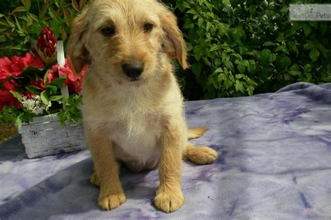 beagle poodle mix puppies for sale mixed other puppy for sale near lancaster pennsylvania 9d53ede0 37d1