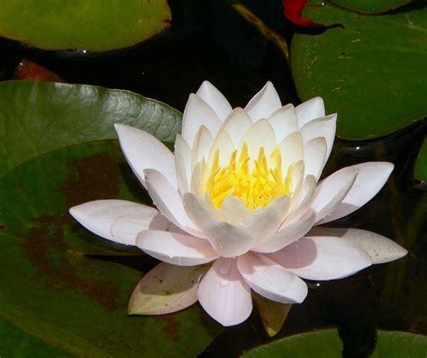 lotus of chiropractic image gallery white lotus