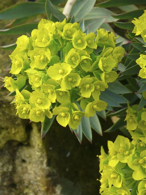 bright green foliage plants euphorbia a plant for all seasons the teddington gardener