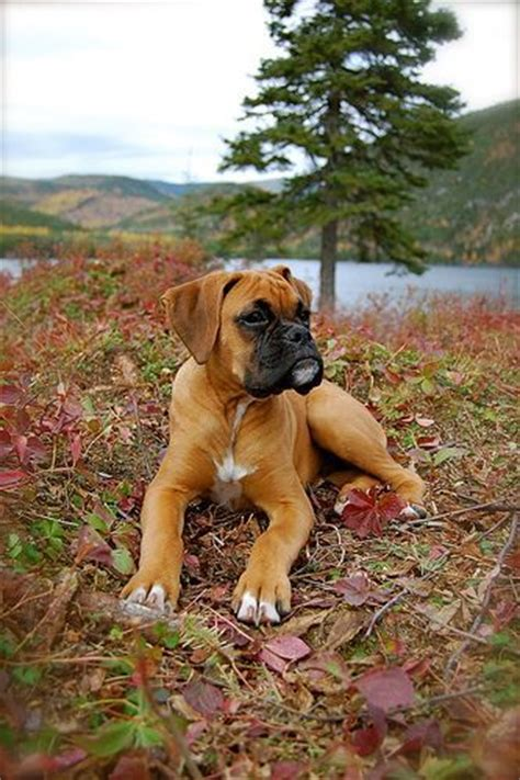boxer puppies ma best 25 boxer puppies ideas on boxer puppies baby boxer puppies and