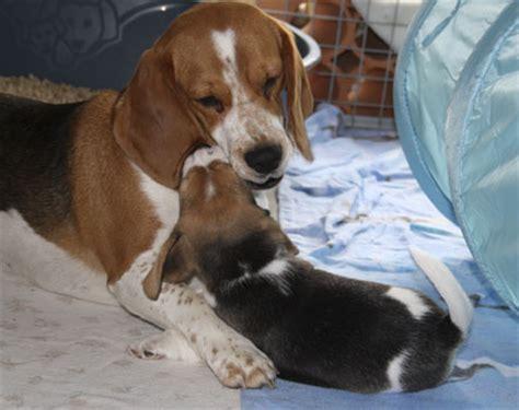 hündin decken lassen beagle vom deistertal