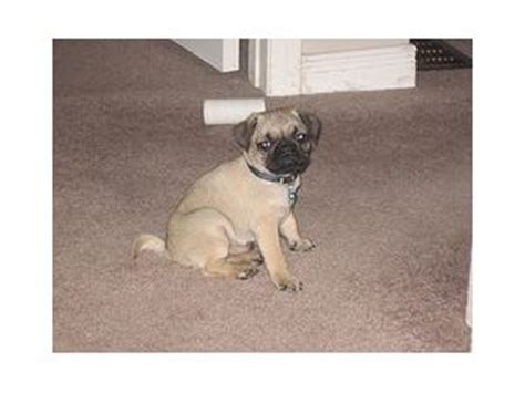 pugs for sale in dallas tx pug puppies in