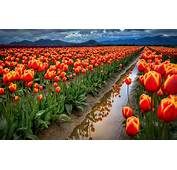 Spring Flowers Field With Red Tulips Desktop Wallpaper