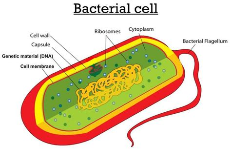 what is the structure of bacterial cell