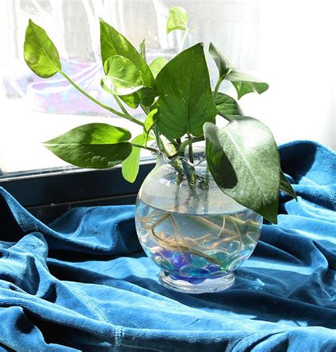 Vase With Marbles Still Life Pothos Plant In Glass Vase I Love Growing