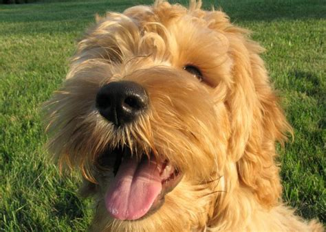labradoodle puppies nj terra a beau monde labradoodles lives in new jersey