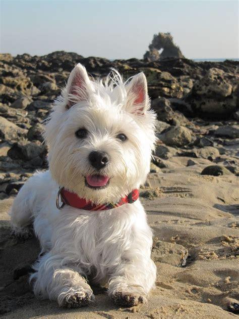 westies dogs westie adventure westies