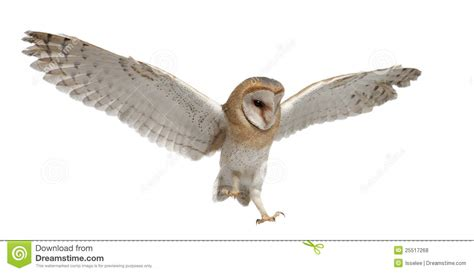 Barn Owl Box Plans Barn Owl Tyto Alba 4 Months Old Flying Royalty Free