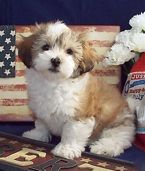 can havanese swim havanese puppies puppy for sale dogs breeders breeds family children