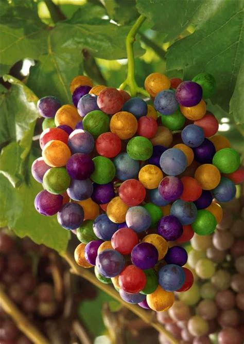 Bibit Anggur Crimson uvas de colores