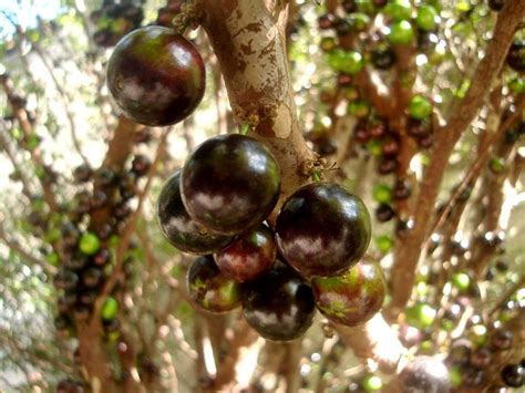 name a fruit that grows on trees jabuticaba the tree with fruits on its trunk