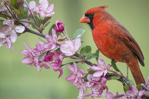 cardinal wallpapers 64 wallpapers hd wallpapers