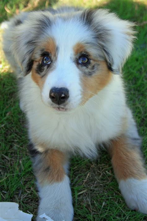 puppies for sale australia australian shepherd puppies for sale near oklahoma city design breeds picture