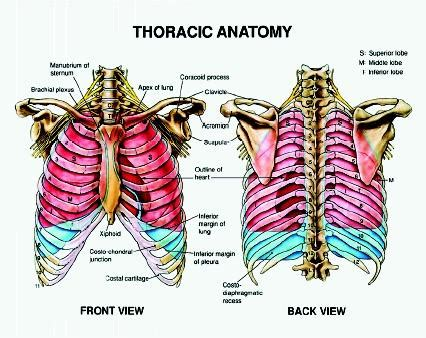 chest cavity diagram about rib and chest bones in your human yahoo answers