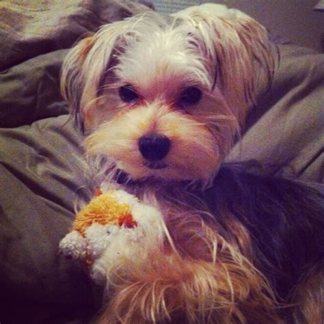 how to groom a morkie 10 best images about morkie cuts grooming on pinterest