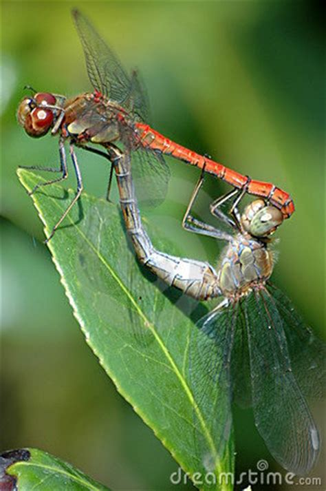 mating dragonflies stock photos image 13081633