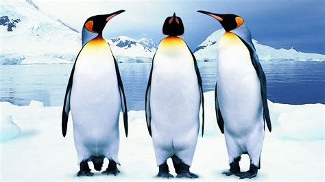 Pinguin Top penguin wallpapers hd pictures one hd wallpaper pictures backgrounds free