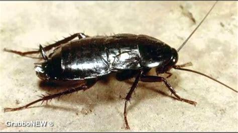 scarafaggi volanti scarafaggio in cina fuggiti oltre 1 milione di blatte