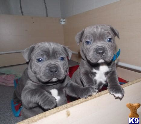 staffy puppies for sale and danny 46904