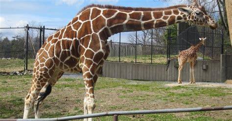 imagenes de animales zoo animales que maravillan en el maryland zoo el tiempo