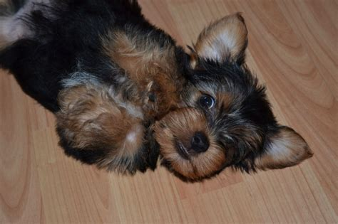 miniature yorkie miniature terriers breeds picture