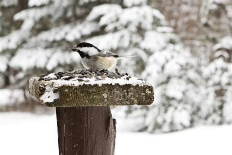 feeding birds in winter seeds of wisdom from local experts
