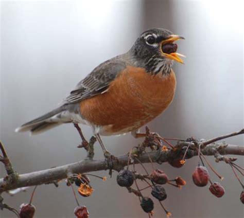 american robin turdus migratorius rufous orange