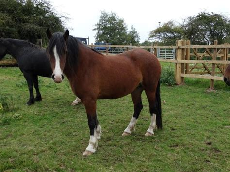 Section D Ponies For Sale by Cobs Section D Horses And Ponies For Sale In The