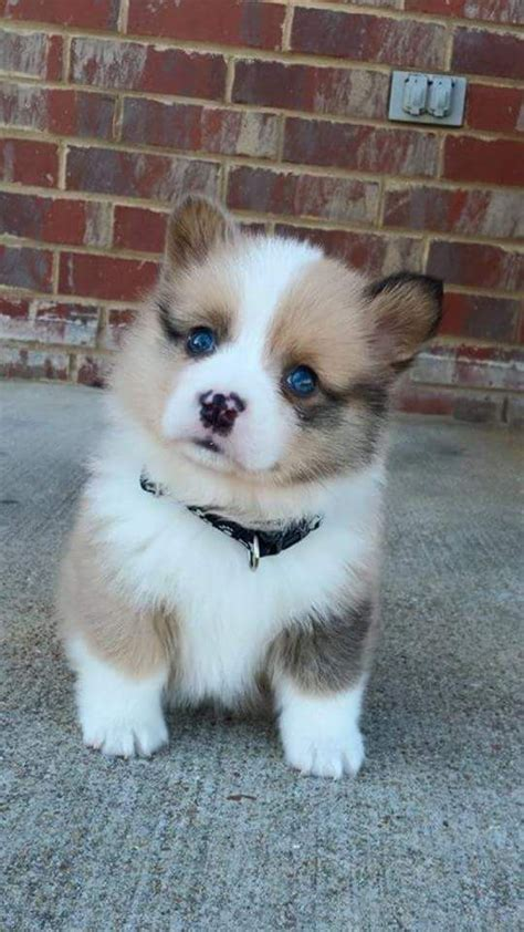 where to buy pomsky puppies 25 best ideas about pomsky puppies on pomsky pomsky pictures and